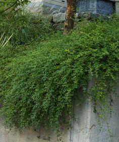 10 Drought-tolerant Shrubs - Fine Gardening Article - Pictured, Winter Jasmine