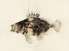 "zeus faber / john dory / ""matoudai"" Fish Anatomy, Anatomy Drawing, Nautical Drawing, John Dory, Fish Tales, Fish Print, Aquarium Fish, Artist, Prints"
