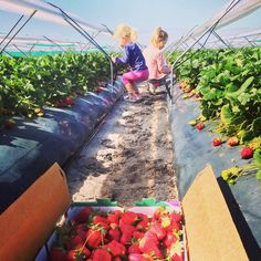 Bullsbrook Strawberry Farm, Strawberry Picking Perth  263 Old West Road, Bullsbook. Open 7 days 9am - 5pm. $5 for 2 punnets $10 for a tray.