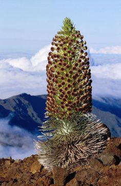 Image detail for -Rare Haleakala Silversword in blossom (Argyroxiphium sandwicense ...