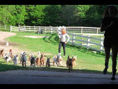 Video showing the annual goat kids run  http://www.homesteadingfreedom.com/annual-running-of-goat-kids-2015/