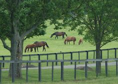 CLAIBORNE FARM -- 100 Years Doing The Usual Unusually Well (near Paris, Ky.) Thoroughbreds grazing.