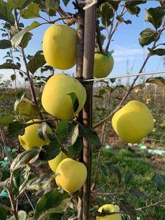 Japanese, Apple, Fruit, Apple Fruit, Japanese Language, Apples