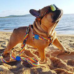 Nico the French Bulldog ❤️