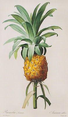 Pineapple botanical print.                                                                                                                                                     Más