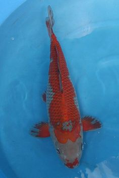 Ginrin ochiba koi pinterest poisson ko et poissons for Carpe koi b