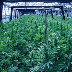 Tips For Securing Your Legal Medical Marijuana Garden From Law - The Weed Blog Marijuana Plants, Cannabis Plant, Cannabis Cultivation, Cannabis Shop, Hydroponics, Weed, Herbs, Medical Marijuana, Plants