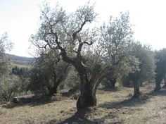 Antica Olivaia: One of our ancient olive trees