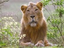 Lion Safari Wildlife Park #silvassa. http://www.resortsinsilvassa.com/silvassa-sightseeing