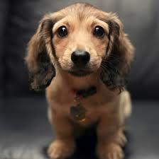 Gorgeous dachshund! @Poppy Treffry #bedachshing