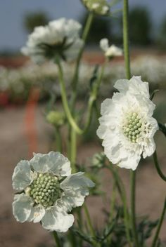 Scabiosa caucasica, 'Perfection White' Seeds £2.50 from Chiltern Seeds - Chiltern Seeds Secure Online Seed Catalogue and Shop