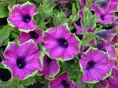 Love Petunias- most of my flowers are petunias because they are low maintenance and beautiful until late fall!