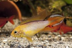 "Apistogramma agassizii ""Fire Red"""