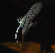 I think it's Pterophyllum altum, also referred to as the Altum Angelfish, Deep Angelfish, or Orinoco Angelfish.