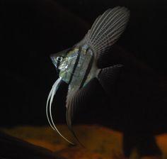 I think it's Pterophyllum altum, also referred to as the Altum Angelfish, Deep Angelfish, or Orinoco Angelfish.