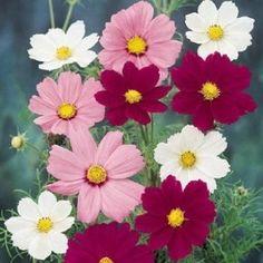 Sensation Mix cosmos seeds - Garden Seeds - Annual Flower Seeds