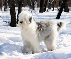 Old English Sheepdog information, facts, and high-quality breed pictures. Learn everything about the Old English Sheepdog dog breed including temperament, care, and more. Old English Sheepdog Puppy, English Dogs, Dog Bearding, Dog Line Art, Dog List, Kinds Of Dogs, Cute Dogs And Puppies, Best Dogs, Pets