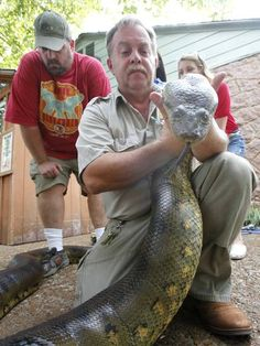 How much does an anaconda weigh??  Oklahoma City Zoo aquarium supervisor Erik Kalen, left and animal technician Joe Branham  prepare to measure a female green anaconda in Oklahoma City, Thursday 26, 2012. The snake weighed 152 pounds and was 16 feet long. Photo By Steve Gooch, The Oklahoman