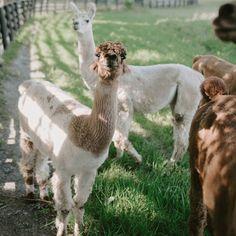 Las llamas podrían ser cruciales para la cura del Coronavirus Llamas, Animals, Exercise Workouts, Lifestyle, Animales, Animaux, Animal, Animais