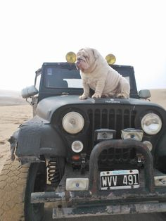 Jeep and a bulldog how could you go wrong ?