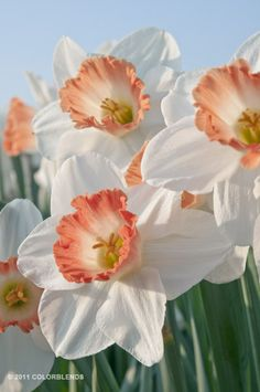 "Daffodil Pink Charm. White flowers with wide cups that look as though they were dipped in apricot nectar. Pink Charm is a great naturalizer. It's also very adaptable: It grows well almost everywhere and is the best pink cup daffodil for the Deep South. 18"" Height, Full Sun, Zones 3-8, Naturalizing, Early Season"