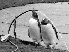 Penguins have never quite gotten the hang of getting a drink from the hose!