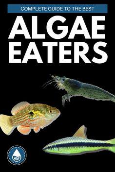 Small Fish Tanks, Cool Fish Tanks, Tropical Fish Tanks, Aquarium Algae, Aquariums, Amano Shrimp, Fish Tank Cleaning, Plecostomus, Cherry Shrimp