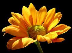 """""""Solblomst"""" Artistic photo by Laila Cichos Love Art, Garden, Artist, Flowers, Plants, Painting, Velvet, Art, Garten"""