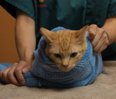 Towel Wrap Your Cat in 5 Scratch-Free Steps (23 Feb 2012). An article discussing the ins and outs of restraining your cat.