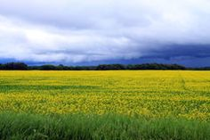 Ominous clouds over Field of Manitoba Canola in blossom Royalty Free Stock Photos