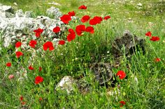 Tuesday in Townsville  Lest We Forget  25th April, 2013.  (This photo was taken near Granada Spain where we housesat in 2012.  Best thing ever.)  Real Poppies growing wild :)
