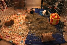 Take a look at these different indoor playpens for guinea pigs, including my own set up for my four girls. Guinea Pig Care, Guinea Pigs, Playpen, Indoor, Pets, Girls, Interior, Toddler Girls, Daughters