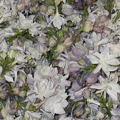 Wholesale White Blend Fd Lilac Petals (30 Cups) - Blooms by the Box