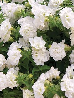 Petunia 'Surfinia Summer Double White'. Lovely annual for a container and will bloom all summer .