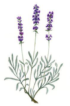 watercolor lavender - Google Search