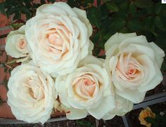 Porcelina Spray Rose--these would be perfect for your corsages and mixed into your bouquet.  Could use for boutonnieres if you like.