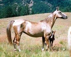 The golden horses- Teke