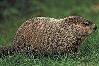 Identification (Ontario Badgers)