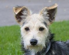 Petango.com – Meet Ayer, a 3 years 6 months Terrier, Yorkshire / Mix available for adoption in Kansas City, MO