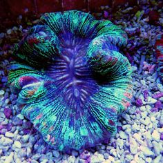 Trachyphyllia geoffroyi Jungle Fever L - Colorals Corals, Bird, Pets, Animals, Fish, Indonesia, Animales, Animaux, Birds