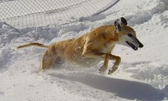 Golden State Greyhound Adoption > Greyhound Photo Galleries > Fun Pix Grey Hound Dog, Greyhounds, Golden State, Photo Galleries, Adoption, Gallery, Dogs, Fun, Animals