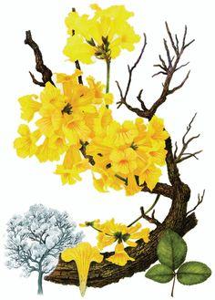 ESTANTE – PLANTAS BRASILEIRAS: A ilustração botânica de Dulce Nascimento | Revista Sustentabilidade
