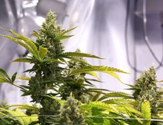 Can #CBD Mitigate Psychotic Symptoms? Initial Research Is Promising http://reset.me/study/can-cbd-mitigate-psychotic-symptoms-initial-research-is-promising/ #cannabis #marijuana #mmj #mentalhealth
