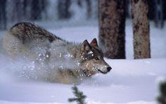 Wolf crashing through the snow.