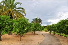 Fruit trees abound in Talis Park - and residents are encouraged to pick the fruit! - Naples, Florida