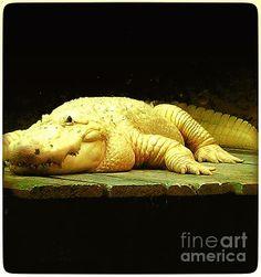Albino Aligator:SaundraMylesart