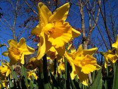 Daffodils. Photo by Hazel Eades.