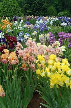 Irises. They come in SO many different colors!! May/June bloomer. My absolute favorite flower.