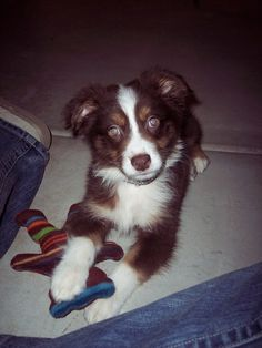 Is Your Australian Shepherd Driving You Crazy? Remove All The STRESS of Owning an Australian Shepherd: Dog Behaviour Breakthrough! Mini Australian Shepherds, Australian Shepherd Puppies, Cute Dogs Breeds, Dog Breeds, Doggies, Dogs And Puppies, Cute Small Dogs, Loyal Dogs, Happy Heart