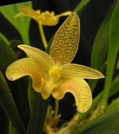 Bulbophyllum palawanense